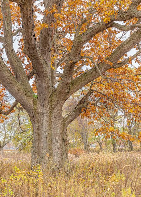 Old Oak In Fall Photography Art   brucedanz