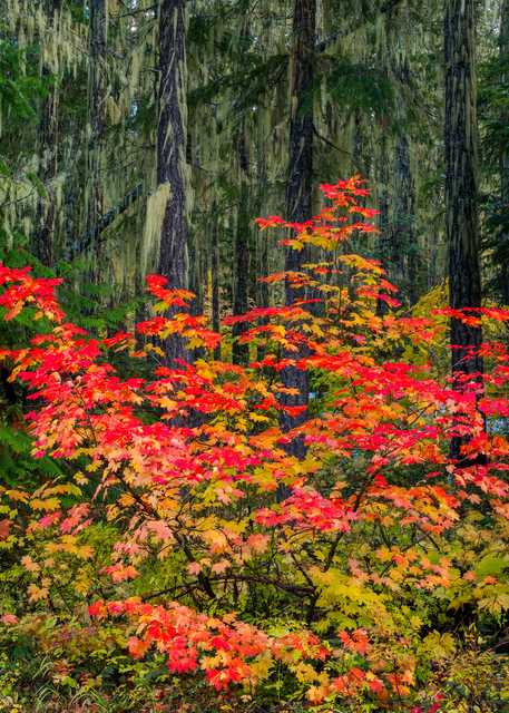 Moss And Maple Photography Art | Craig Primas Photography
