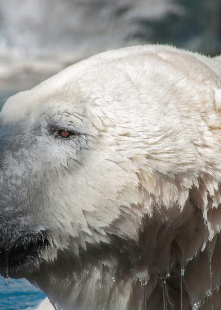 Polar Bear Photography Art | Kathleen Messmer Photography