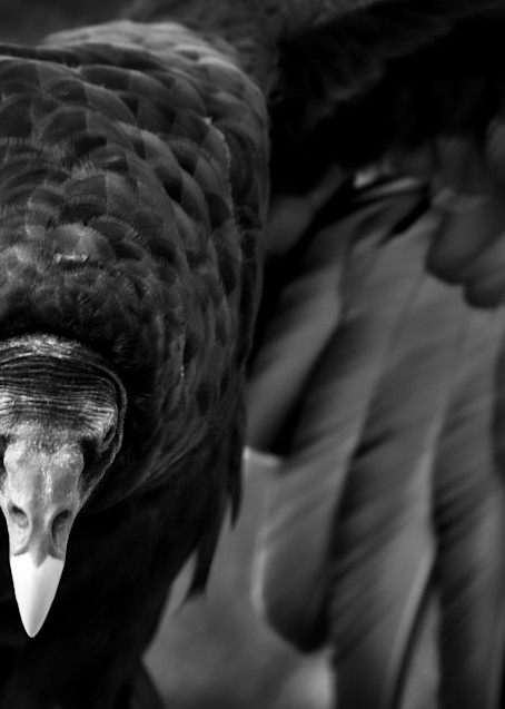 Turkey Vulture Photography Art   Kathleen Messmer Photography