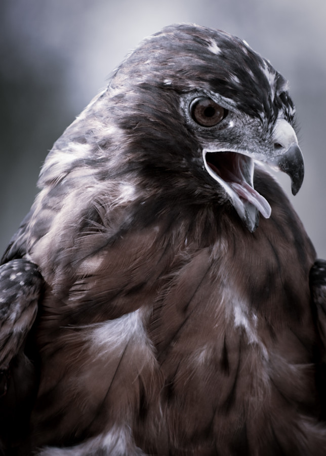 Red Tail Hawk Photography Art | Kathleen Messmer Photography