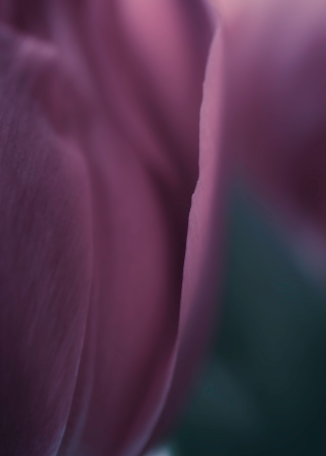 Blue Tulip Photography Art | Kathleen Messmer Photography