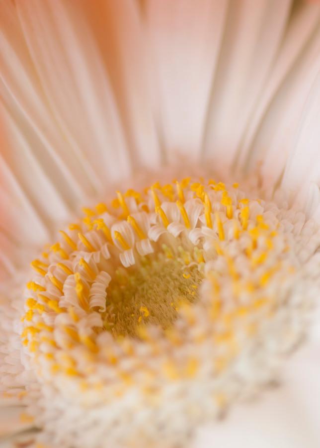 Gerbera Daisy Photography Art | Kathleen Messmer Photography