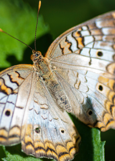 White Peacock Butterfly Photography Art | Kathleen Messmer Photography