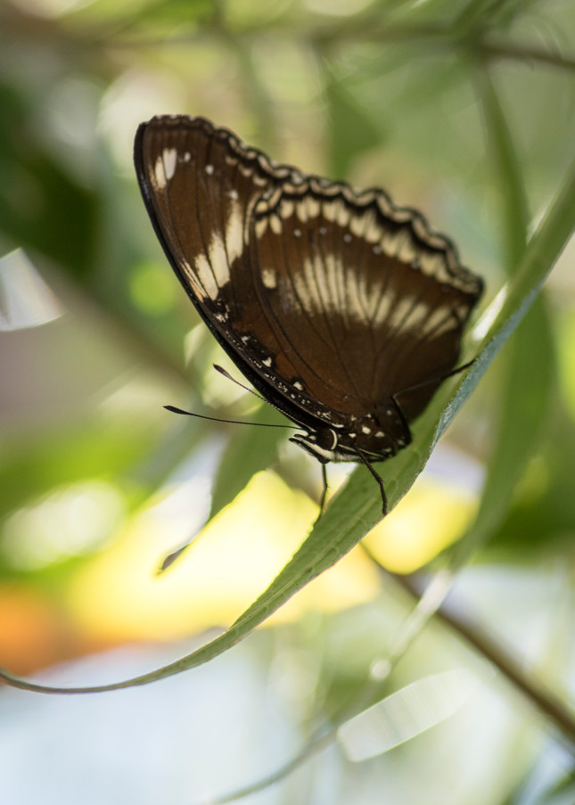 Brown And White Butterfly 2 Photography Art | Kathleen Messmer Photography