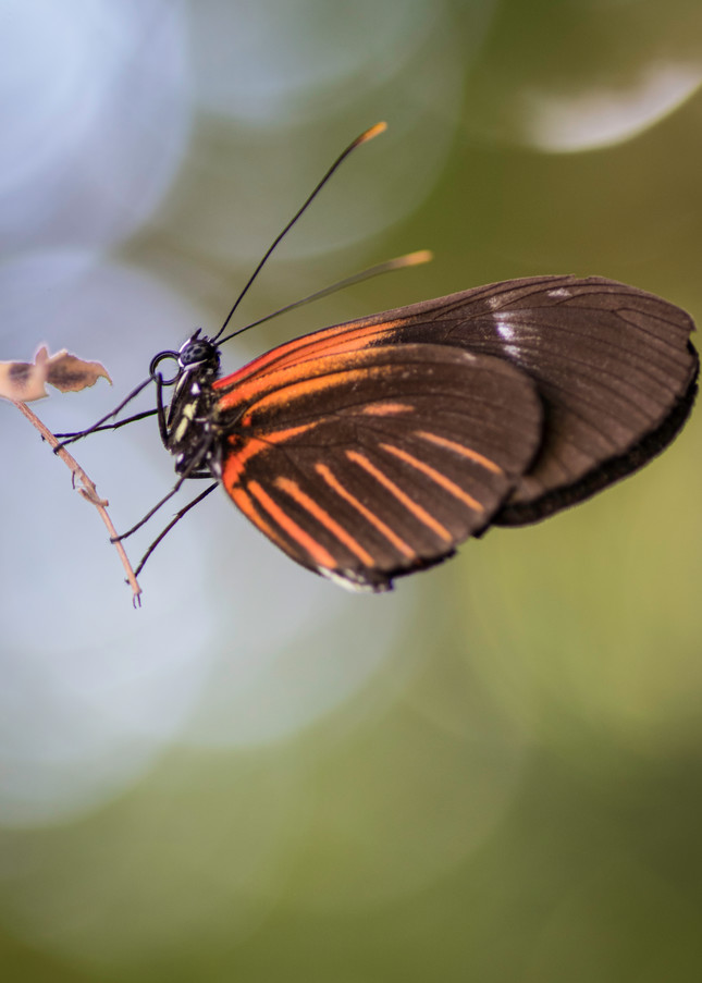 Orange And Brown Butterfly  Photography Art   Kathleen Messmer Photography