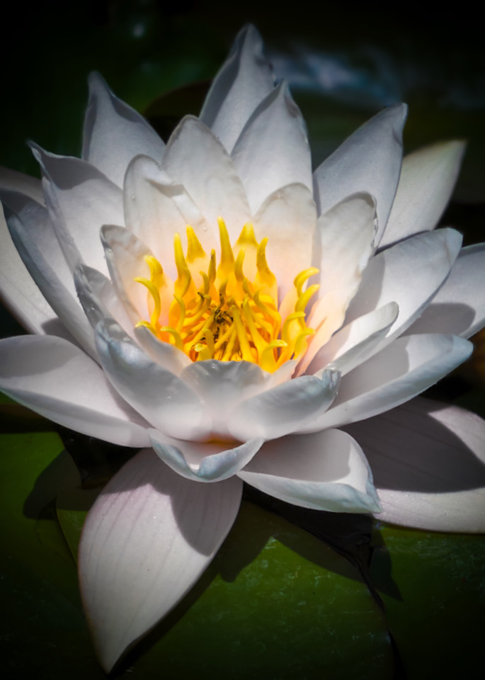 White Waterlily Photography Art   FocusPro Services, Inc.