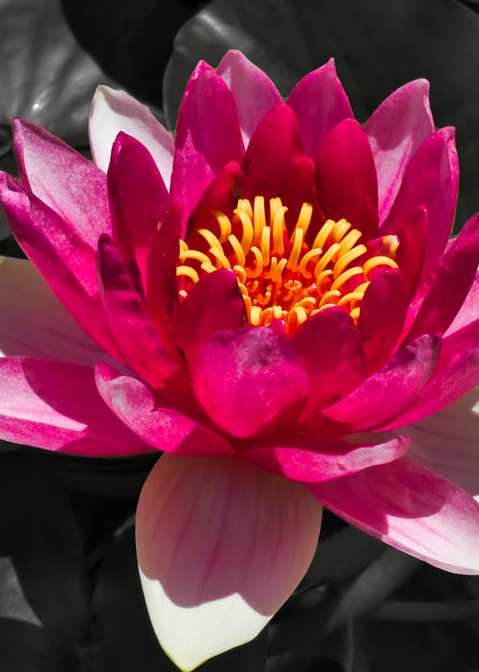 Red Waterlily Photography Art | FocusPro Services, Inc.