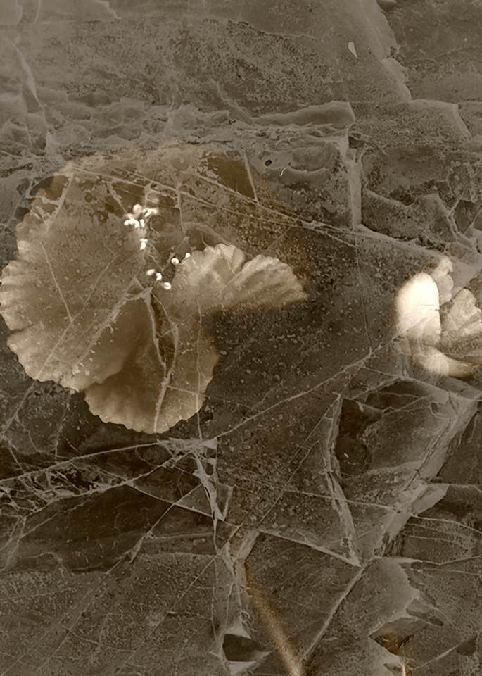 Poppies Under Ice Photography Art   Kathleen Messmer Photography