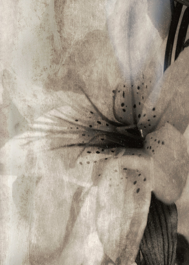 Lily Photography Art   Kathleen Messmer Photography