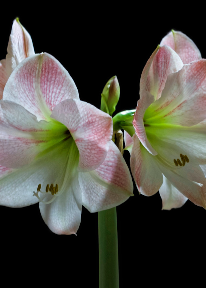 Pink Amaryllis Photography Art | FocusPro Services, Inc.