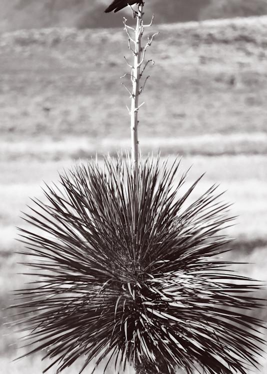 Raven On Yucca Photography Art | Galeria Mañana