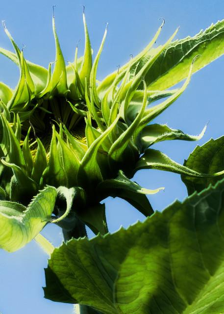 Sunflower Series14 Photography Art | Mark Steele Photography Inc