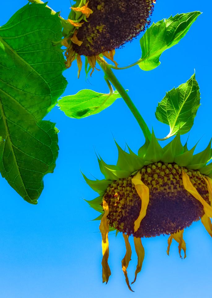Sunflower Series25 Photography Art   Mark Steele Photography Inc