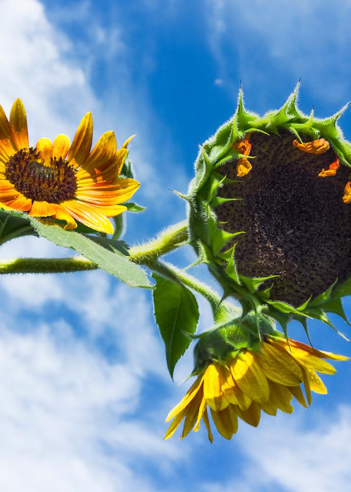 Sunflower Series26 Photography Art | Mark Steele Photography Inc