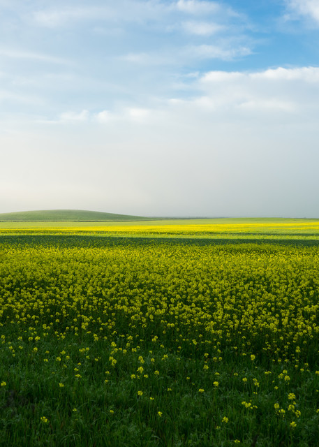 Mustard in the Mist - country morning sunrise over mustard field photographic print