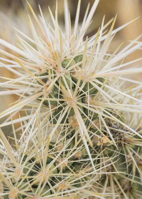 Botanicals: Cactus #2 - desert macro photograph print