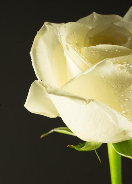 Botanicals: Rose #1 - flower macro photograph print