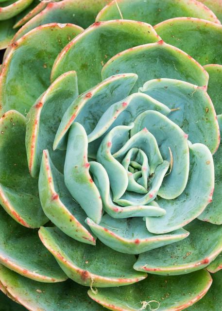 Botanicals: Succulent #4 - garden macro photograph print