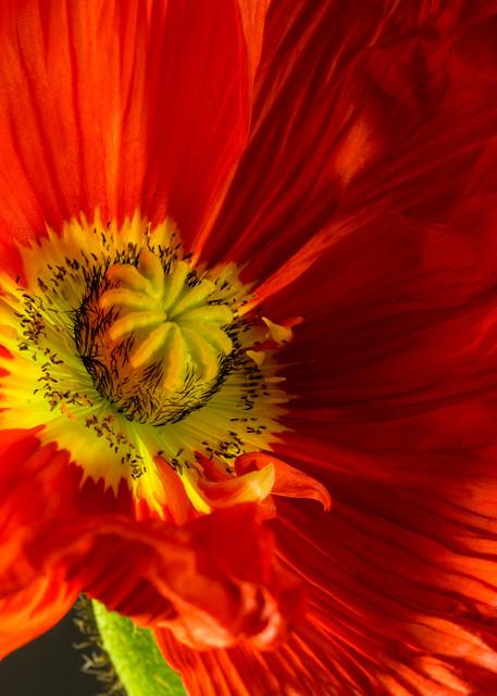 Botanicals: Iceland Poppy #2 - flower macro photograph print