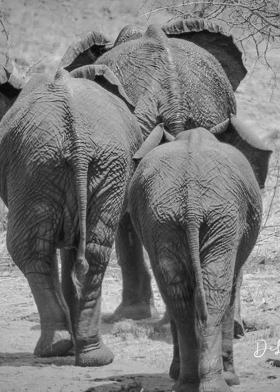 3 elephants walking away, leaving