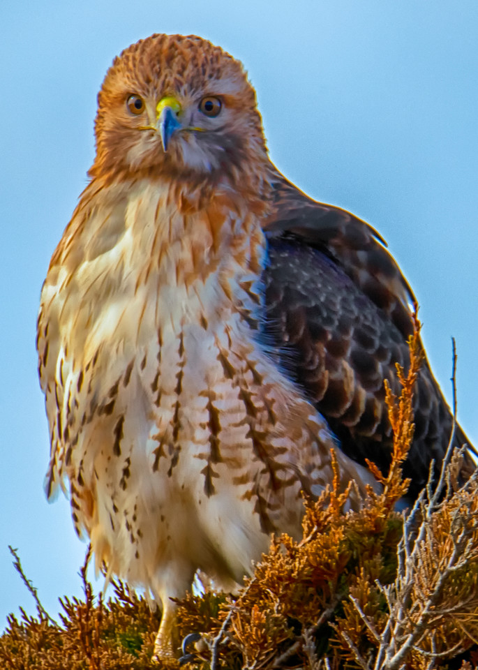 Red Tail Hawk Winter Art | Michael Blanchard Inspirational Photography - Crossroads Gallery