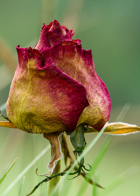 """""""Old Rose"""", PhotoDiscoveries"""