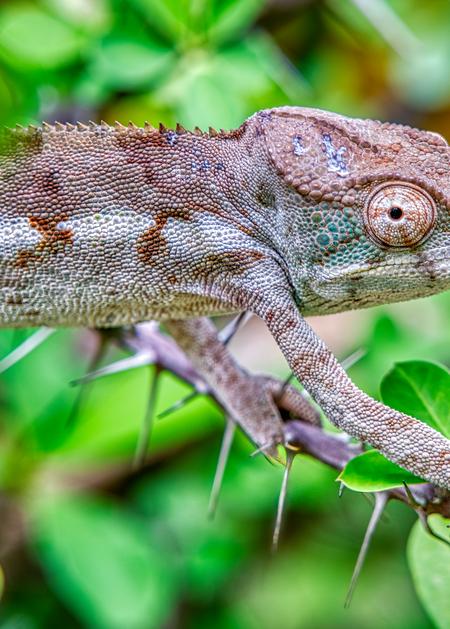 Chameleon among thorns, Ankarana National Park.
