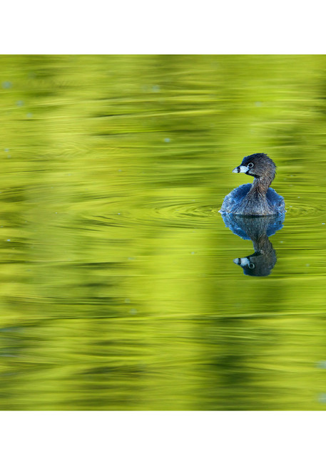 Photograph of a pied-billed grebe swimming in green reflections.  Wall art for your home.