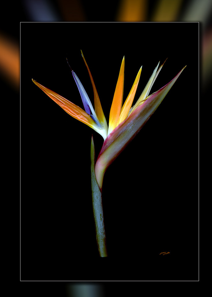 Bird Of Paradise V 3 D Photography Art | Whispering Impressions