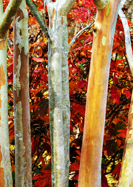 MPhillip-Arkansas-Birch-Trees
