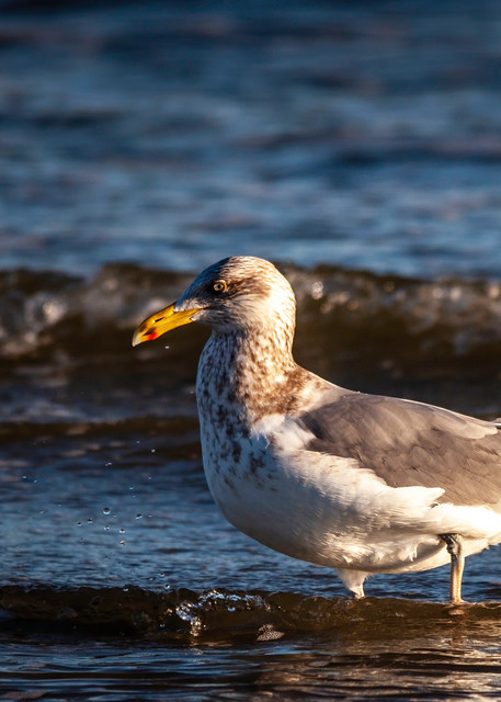 Herring Gull II