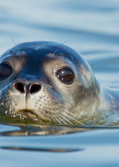 Maine Harbor Seal