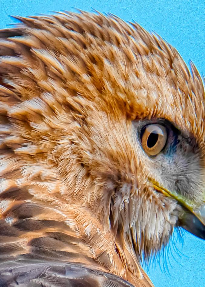 Red Tail Hawk Closeup Art | Michael Blanchard Inspirational Photography - Crossroads Gallery