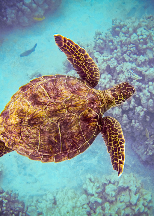 Swiming Honu From Above