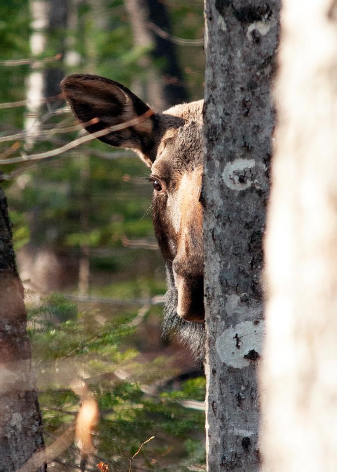 Peek A Boo Moose Pt.2 Photography Art | Monteux Gallery