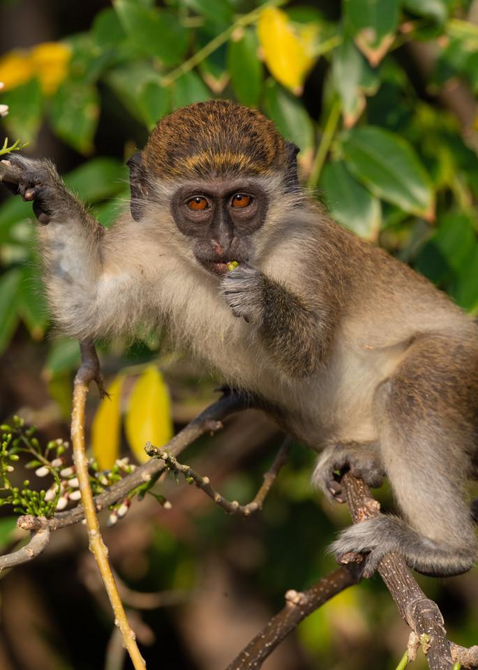 Vervet Monkey Photography Art | Monteux Gallery