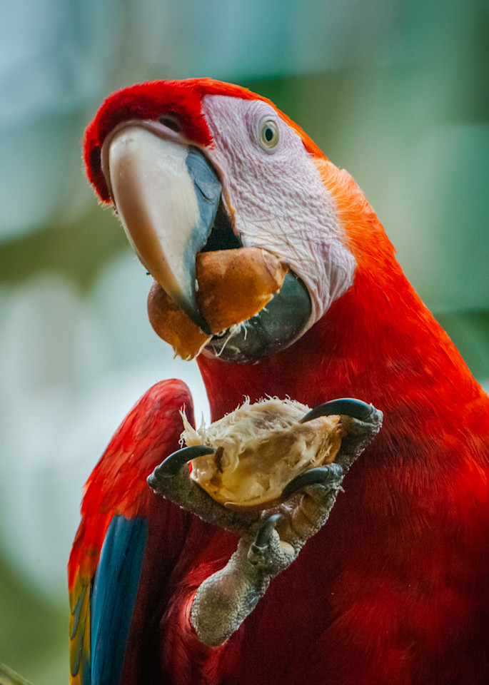 Scarlet Macaw Photography Art | Monteux Gallery