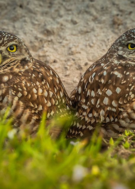 Burrowing Owls Photography Art | Monteux Gallery
