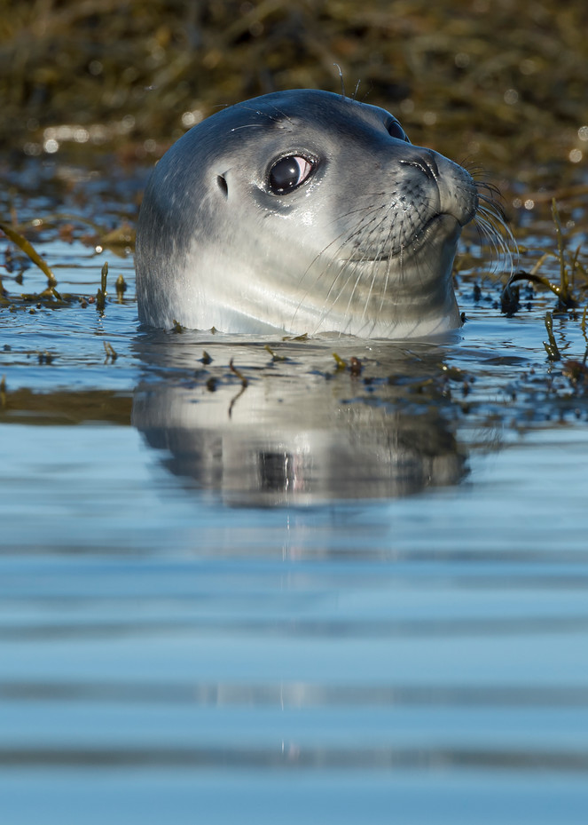 Harbor Seal With An Attitude Photography Art | Monteux Gallery