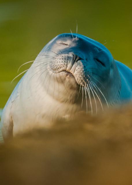 Sleepy Seal Photography Art | Monteux Gallery