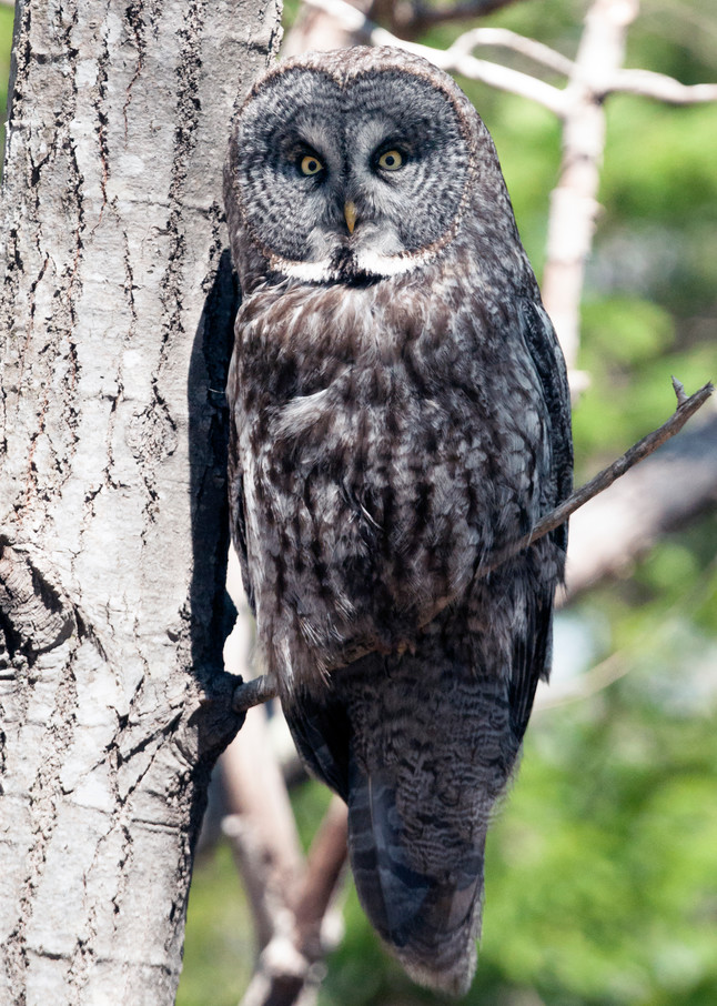 Great Grey Owl Photography Art | Monteux Gallery