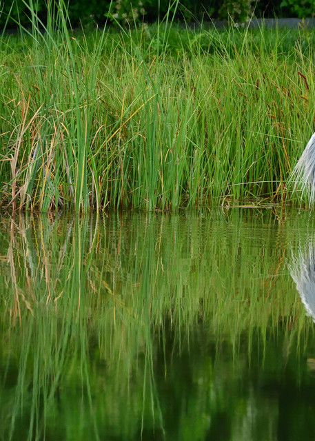 Great Blue Heron Foraging Still Waters - Southeast Idaho Wildlife Photographs - In Quiet Reflection - Fine Art Prints on Metal, Canvas, Paper & More By Kevin Odette Photography