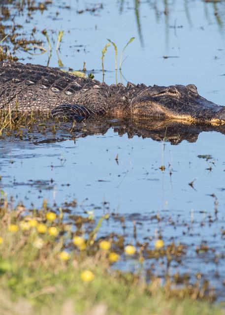 American Alligator Reflection, Damon, Texas