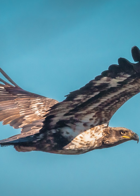 Immature Bald Eagle Photography Art | Monteux Gallery