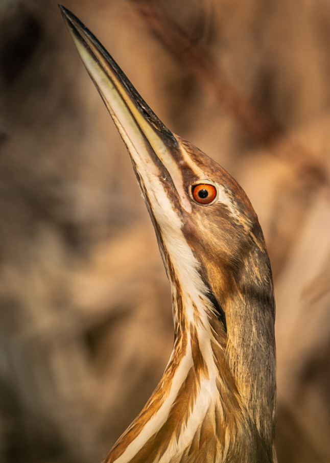 American Bittern Photography Art | Monteux Gallery