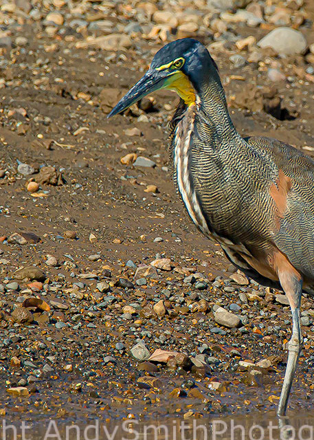 Bare-throated Tiger-Heron, Tigrisoma lineatum