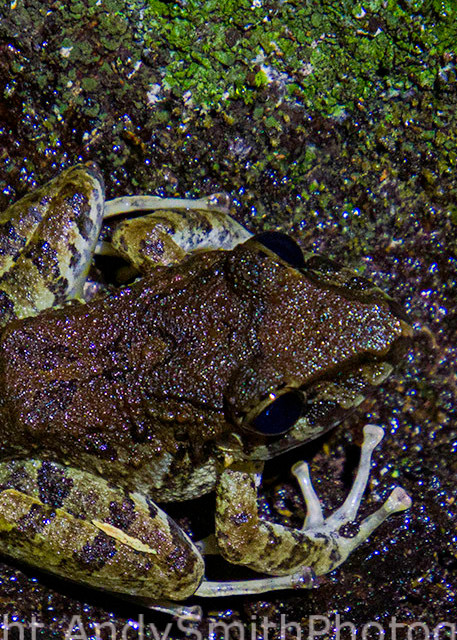 Boulenger's Long-snouted Tree Frog, Scinax boulengeri