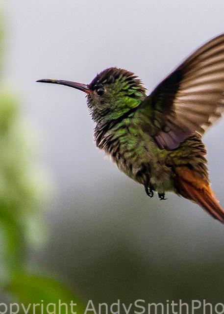 Rufous-tailed Hummingbird, Amazilia tzactl