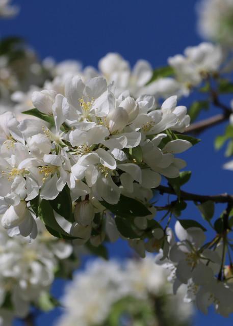 Apple Blossoms at Missouri Botanical Garden